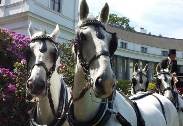 witte paarden voor Jacht koets