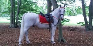 Wit paard voor commercial, evenement of ceremonie